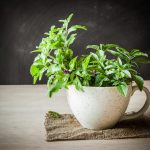 5 Holy Basil Benefits for Your Health and Beauty