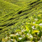 Top 4 Tea Plantation in Himachal Pradesh