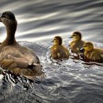 Best Tips to Prevent Duck Diseases and Injuries