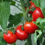 What is the Best Time to Plant a Tomato Tree?