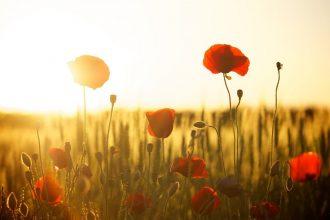 poppies-174276_1280